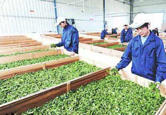 坦洋工夫红茶的制作工艺  制作全过程,果断收藏