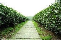 中国十大名茶之绿茶西湖龙井的渊源