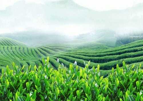 峨眉雪芽绿茶
