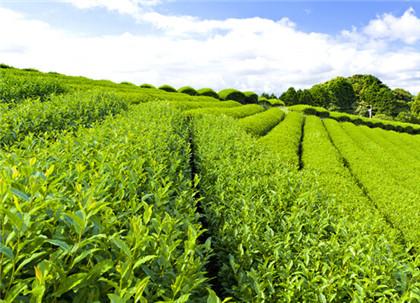 正确了解绿茶的冲泡法