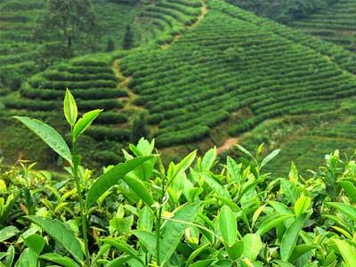 中国茶叶 绿茶种类有哪些