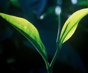 什么叫有机绿茶