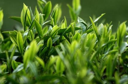 中国好茶之 绿茶碧螺春