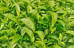 绿茶十大品牌