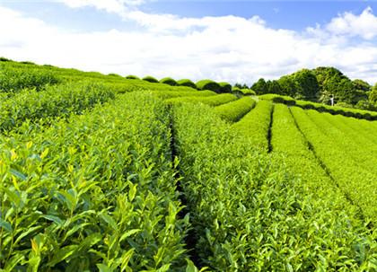 竹叶青茶叶等级分类