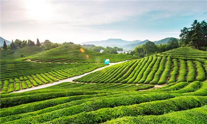 竹叶青茶专卖店介绍竹叶青茶的好处