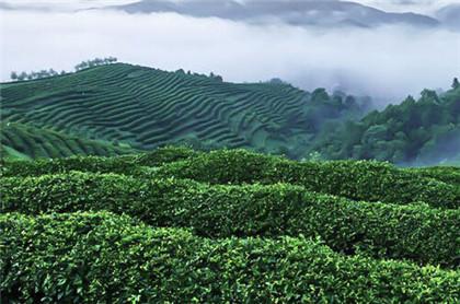 竹叶青茶作用是什么?