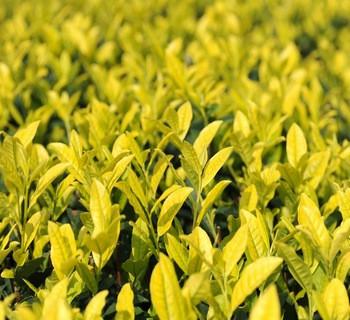 霍山黄芽的多个等级介绍