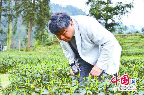 四川峨眉雪芽绿茶的三大品质特征